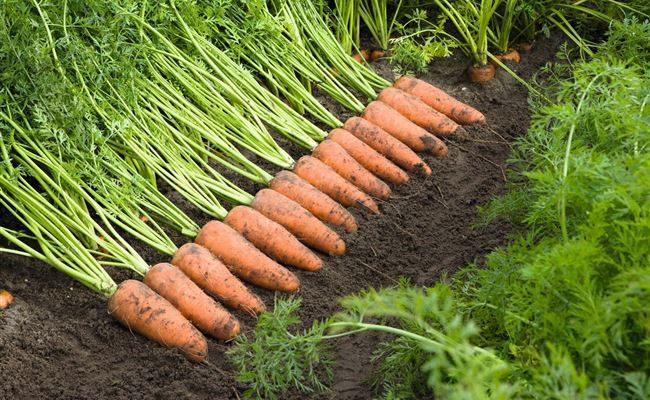 Жаль, что поздно узнала об этих урожайных, с длительным хранением сорта моркови, теперь буду высевать только их