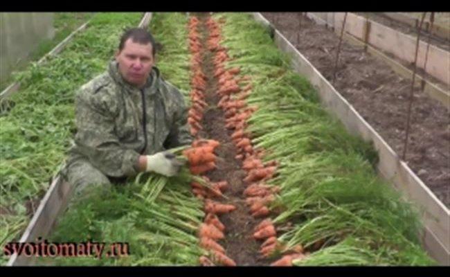 Морковь Крепыш — описание сорта, фото, отзывы, посадка и уход