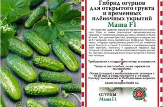 Сорт огурцов Маша ‒ обзор характеристик и способов выращивания