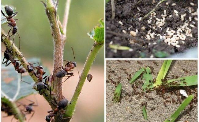 Красный перец от муравьев на огороде