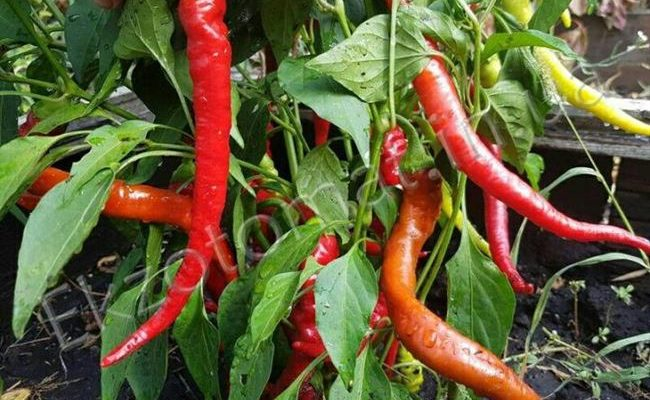 Перец «Бараний рог»: острый урожайный сорт