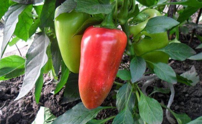Перец «Купец»: характеристика сорта, особенности выращивания, отзывы