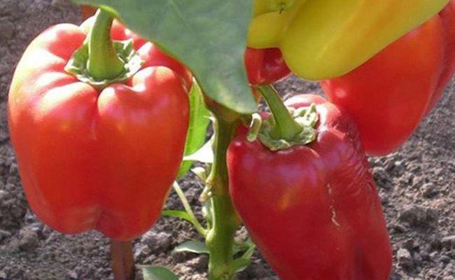 Перец сладкий 'Толстосум' — описание сорта, характеристики