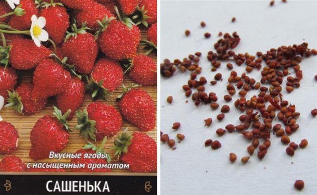 Особенности выращивания и ухода за клубникой сорта Сашенька