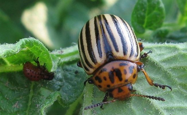 Чем обработать баклажаны от колорадского жука