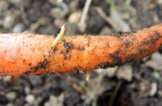 Какие меры следует принимать, если в моркови появился проволочник