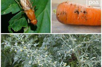 Описание и способы борьбы с вредителями моркови