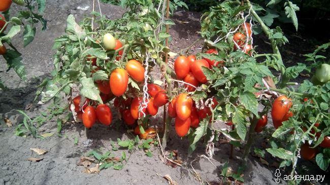 Новичок на кухне у хозяек: описание сорта томата Лель