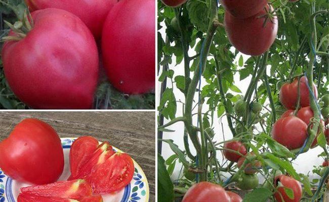 Лучшие сорта крупных мясистых и очень ранних томатов