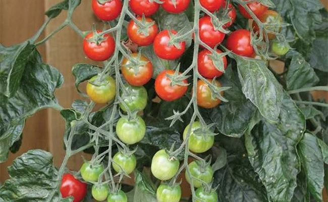 Длинные плети, усыпанные вкуснейшими помидорками — томат «Рапунцель»: описание, фото и инструкция по выращиванию