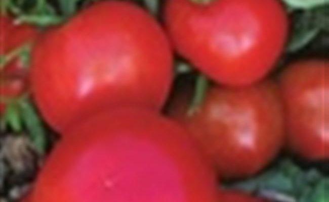 Семко томаты лучшие сорта