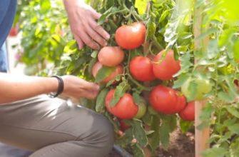 Томат Скворец описание сорта, фото, отзывы, характеристика плодов, достоинства и недостатки