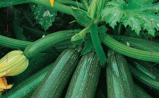 Кабачок цуккини Цукеша – скороспелый сорт универсального предназначения