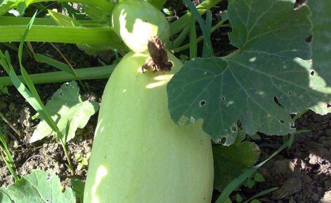 Кабачок «Ролик» описание сорта и опыт выращивания