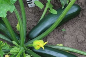 Черный красавец – неприхотливый кабачок-цуккини с отличной урожайностью