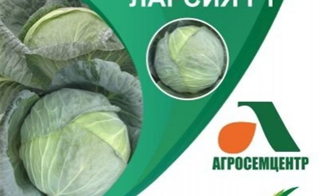 Характеристика и описание сорта капусты ЛАрсия