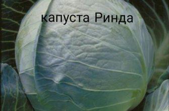 Ринда — царица среднеспелых сортов капусты