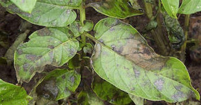 Мозаика на баклажанах: фото, симптомы, лечение и другие заболевания пасленовых