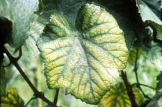 Хлороз винограда: как распознать причины и вылечить без вреда для растения