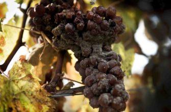 Гниль на винограде.Черная и белая,серая и горькая,плесневидная и корневая.