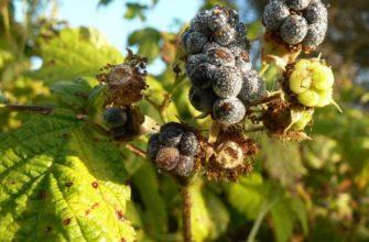Секреты садоводов в борьбе с вредителями и заболеваниями ежевики