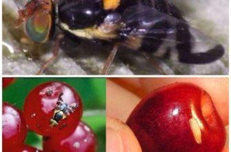 Борьба с вишневой мухой: сроки обработки, эффективные препараты