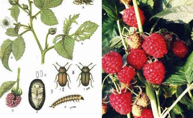 Защищаем малину и клубнику от долгоносика