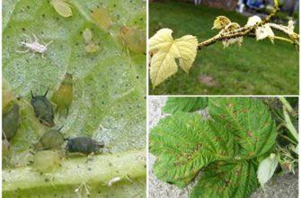 Вредители ежевики и борьба с ними в саду