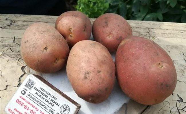 Превосходный сорт для варки и запекания — картофель Боровичок: описание и характеристика
