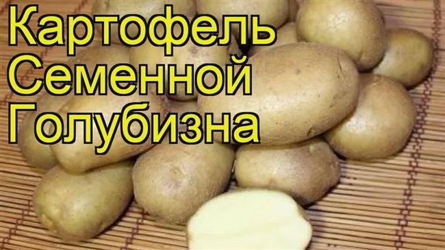 Картофель Голубизна: описание, характеристики, особенности ухода