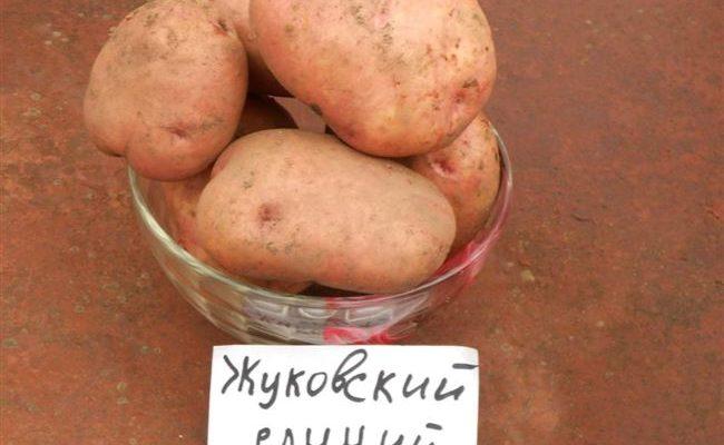Описание сорта картофеля Жуковский