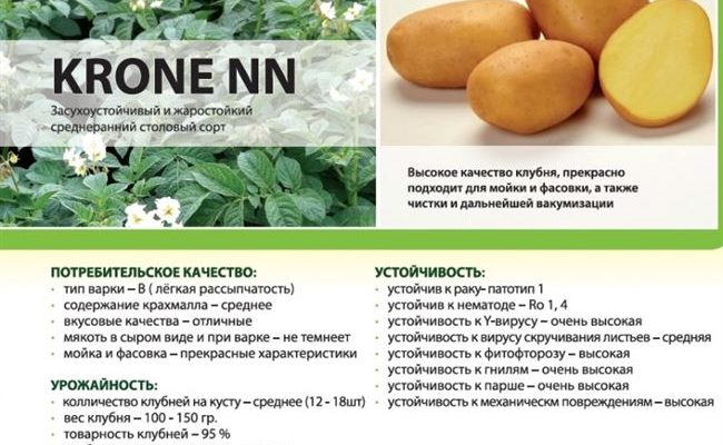 Молодой, но перспективный немецкий сорт картофеля «Крона»: описание и отзывы
