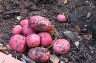 Сорт картофеля Манифест: характеристика, отзывы