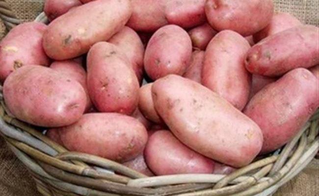 Раннеспелый устойчивый к засухе сорт картофеля «Ред Леди» для долгого хранения