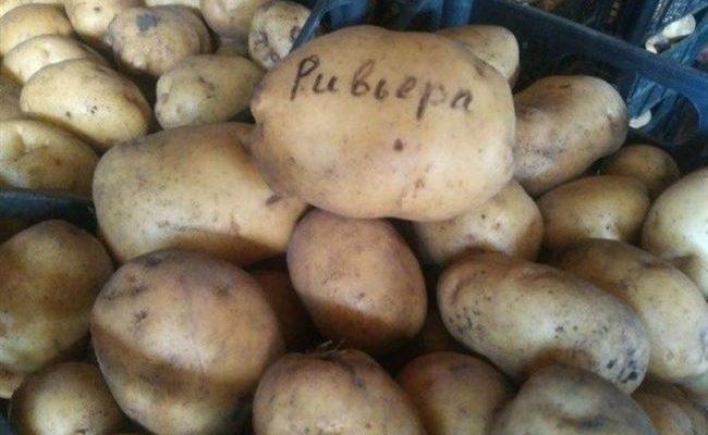 Сорт картофеля Ривьера – характеристика, описание и отзывы, вкусовые качества, агротехника, фото