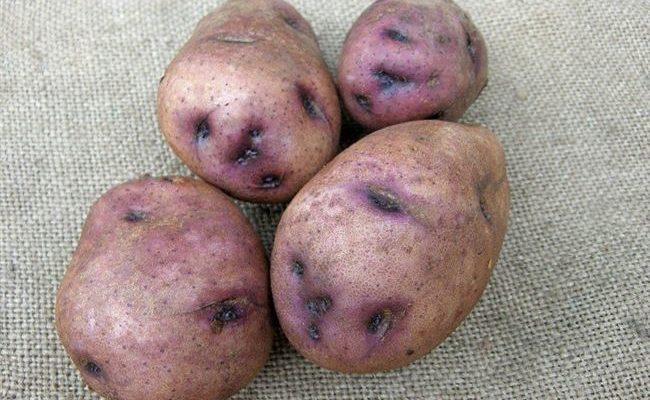 Необычный окрас и устойчивый иммунитет — картофель «Синеглазка». Характеристики сорта и описание картошки с фотографиями