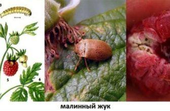 Клещи и гусеницы на малине и ежевике. Главные вредители жаркого периода