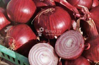 Сорт лука Ред барон – характеристика и описание, посадка севка, отзывы