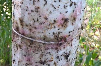 Обзор способов защитить вишню от муравьев