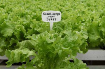 Салат Букет: описание сорта, выращивание, урожайность