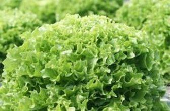 Ералаш: описание, выращивание и уход