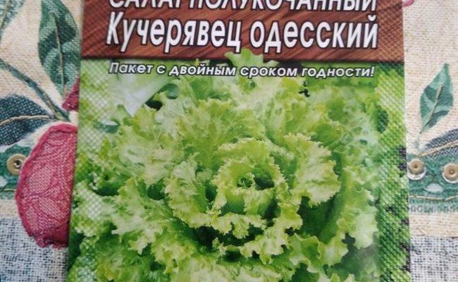 Как посадить салат Кучерявец Одесский: описание, фото