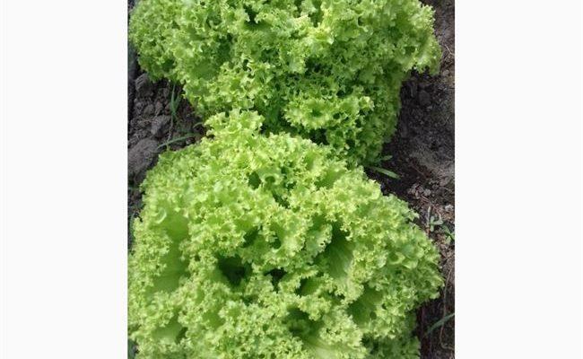 Эстроза - сорт растения Салат