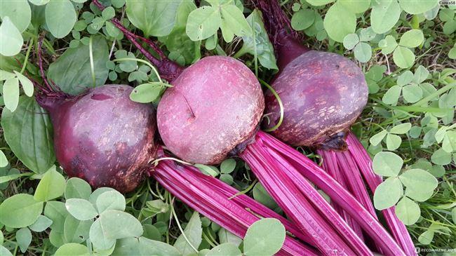 Высокоурожайный сорт от итальянских селекционеров — свекла «Детройт»: полный обзор и инструкция по выращиванию