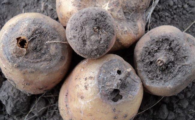 Гнили картофеля: почему гниёт картофель, меры защиты и борьбы