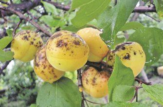 Обзор заболеваний и вредителей абрикоса