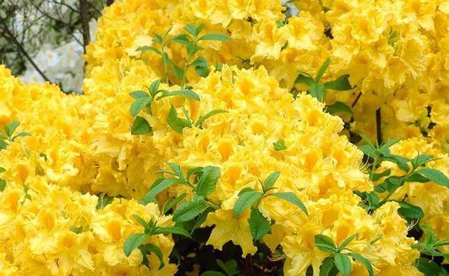 Рододендрон листопадный Аннеке