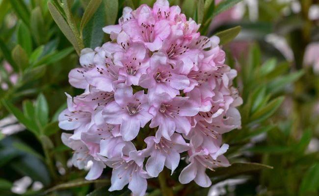 Что это за растение рододендрон bloombux micranthum (блюмбукс микрантум) и как за ним ухаживать?