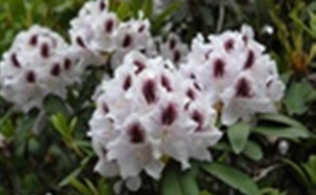 Рододендрон гибридный Кальсап