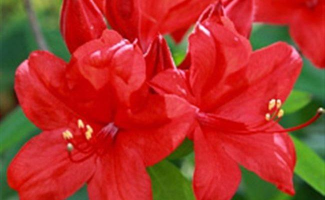 Rhododendron 'Nabukko'